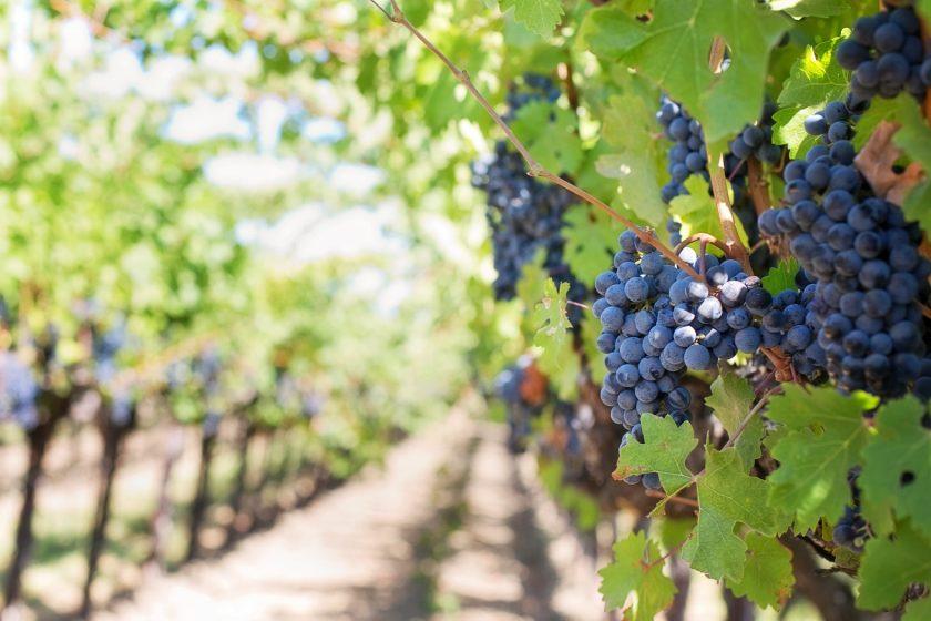 plant-grape-vine-vineyard-fruit-flower-919814-pxhere.com